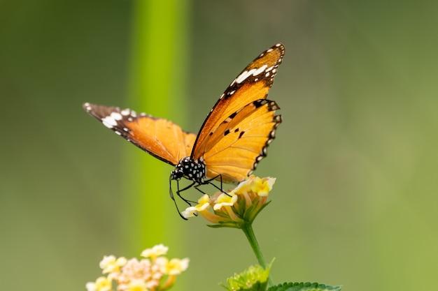 Foto aproximada de uma pequena borboleta sentada em uma flor silvestre