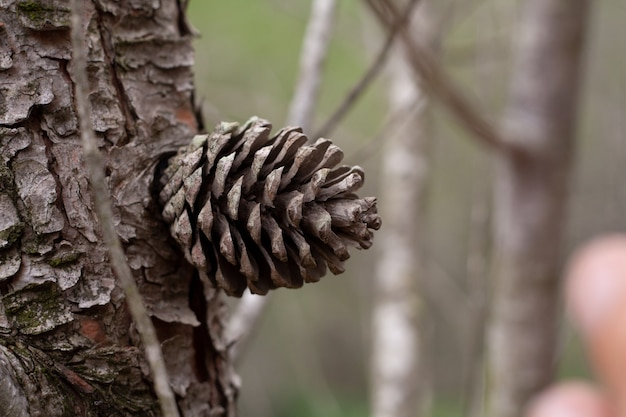 Foto aproximada de uma pinha