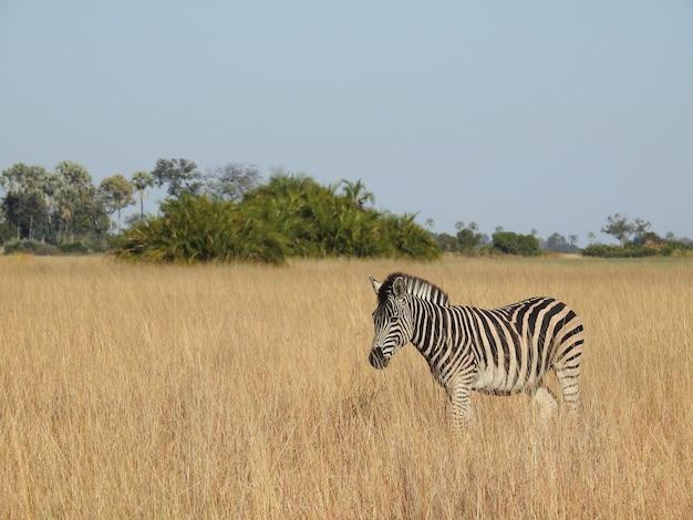 Foto aproximada de uma zebra do delta do okavango, botswana