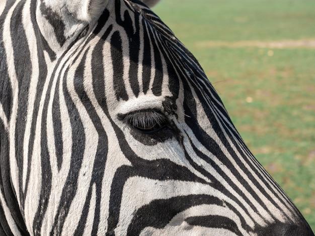 Foto aproximada de uma zebra na selva