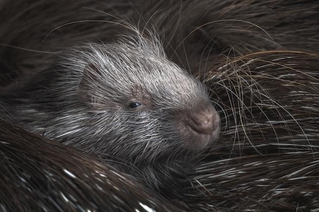 Foto aproximada do porco-espinho