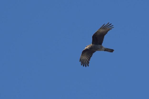 Foto baixa de uma caracara chimango voando alto contra um céu azul claro