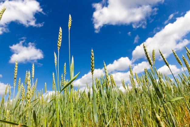Foto com foco em espigas verdes de trigo