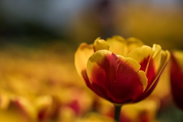 Foto com foco seletivo de uma linda tulipa amarela e vermelha com um fundo desfocado