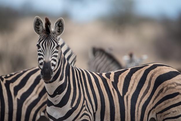 Foto com foco seletivo de uma linda zebra com um fundo desfocado