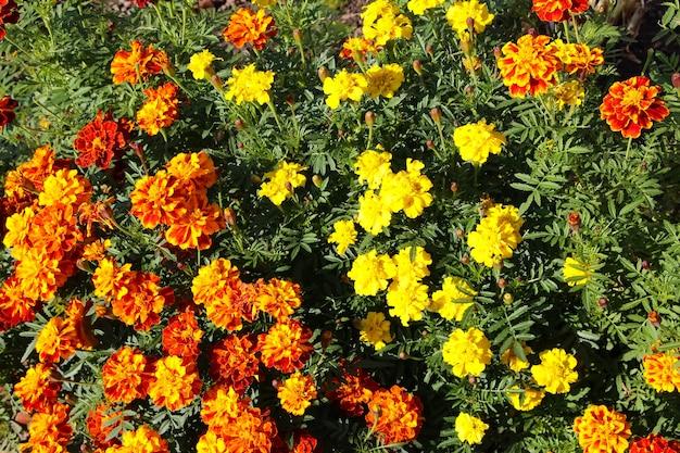 Foto da parte superior frontal de um canteiro de flores laranja e amarelo malmequeres lat tagtes
