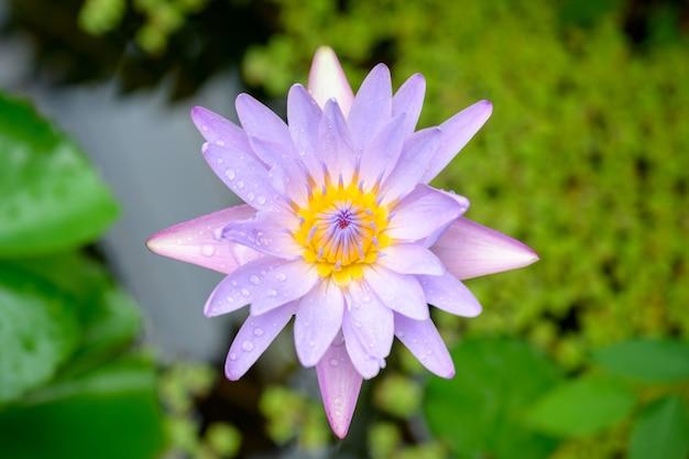 Foto da vista superior da bela flor de lótus flor de lótus no fundo da folha de lótus verde da lagoa