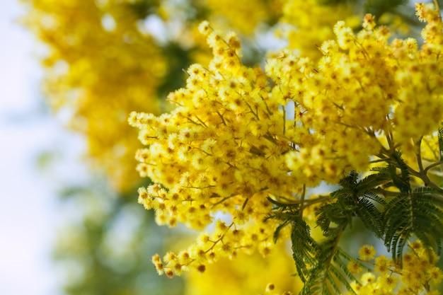 Foto de acácia amarela
