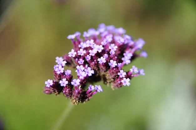 Foto de alto ângulo de flores de verbena