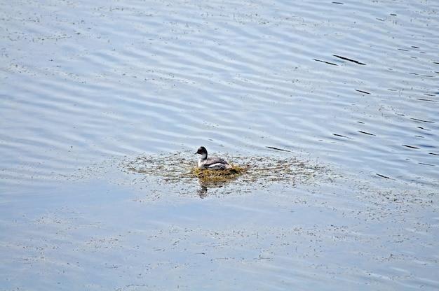 Foto de alto ângulo de um pato fofo nadando no