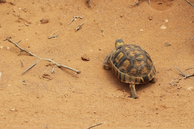 Foto de alto ângulo de uma bela tartaruga caminhando no solo coberto de areia