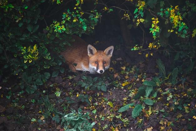 Foto de ângulo alto de uma raposa fofa deitada no chão em uma floresta cercada por vegetação