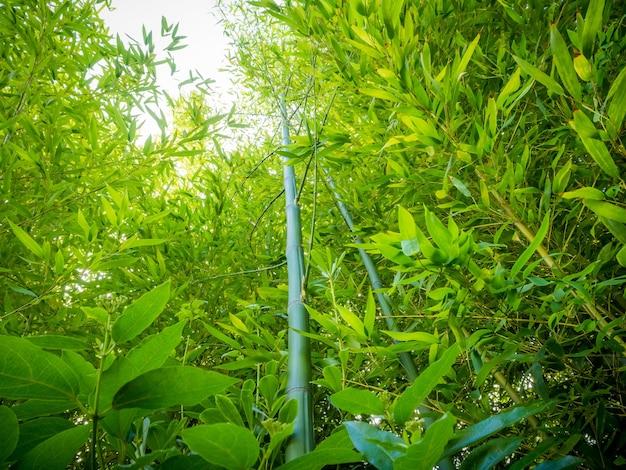 Foto de baixo ângulo de muitos talos verdes de bambu em uma floresta