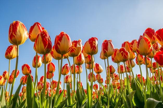 Foto de baixo ângulo de um campo de flores vermelhas e amarelas com um céu azul no