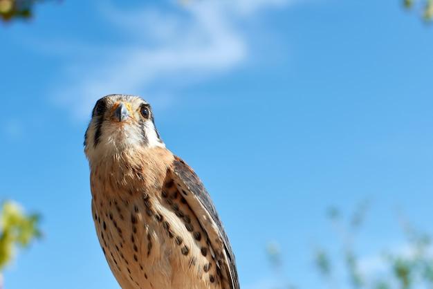 Foto de baixo ângulo de um falcão americano