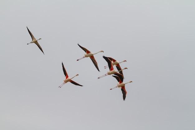Foto de baixo ângulo de um lindo bando de flamingos com asas vermelhas voando juntos no céu claro