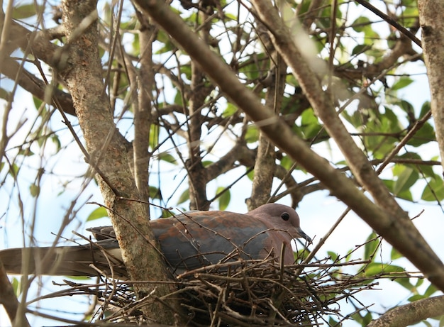 Foto de baixo ângulo de um pombo sentado em seu ninho entre os galhos de uma árvore