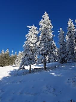 Foto de baixo ângulo dos belos pinheiros cobertos de neve na floresta