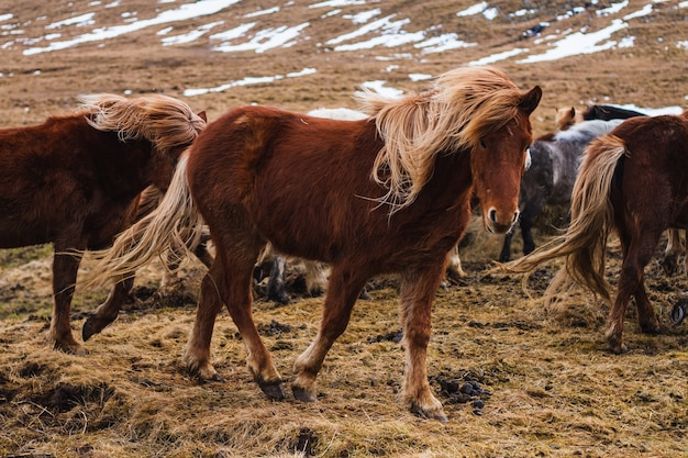 Foto de cavalos islandeses correndo pelo campo coberto de grama e neve na islândia