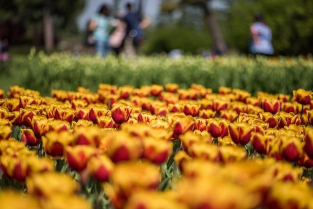 Foto de close de lindas tulipas amarelas e vermelhas crescendo no campo