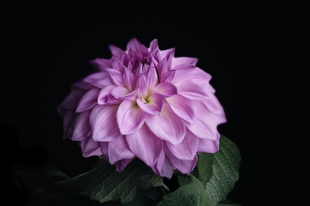 Foto de close de uma dália rosa isolada em um fundo preto