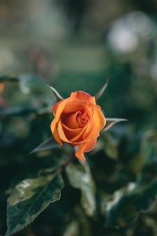 Foto de close de uma incrível flor de rosa laranja