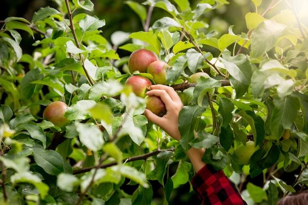 Foto de close de uma mulher colhendo maçãs em árvores em um dia ensolarado