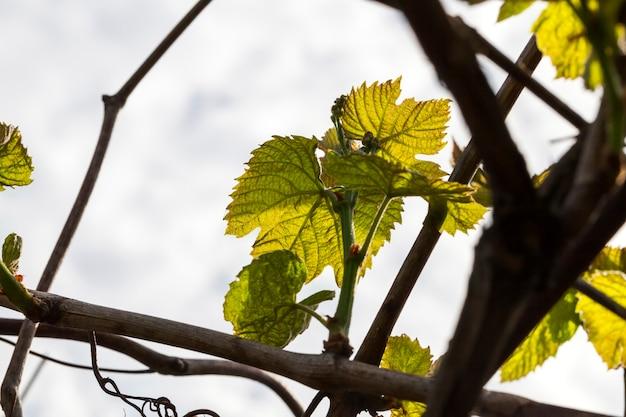 Foto de close de várias folhas jovens de uvas verdes claras, começando a crescer na primavera
