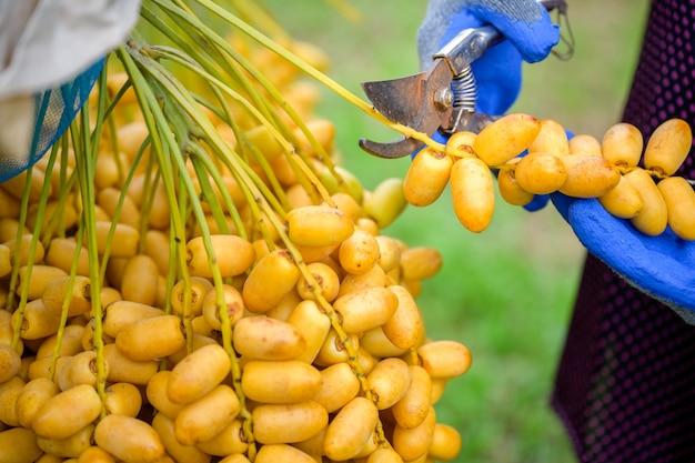 Foto de close-up agricultor idoso asiático segurando tâmaras amarelas frescas e colheita de produtos na plantação de tamareiras. conceito de agricultura: fazendeiro sênior com tâmaras frescas