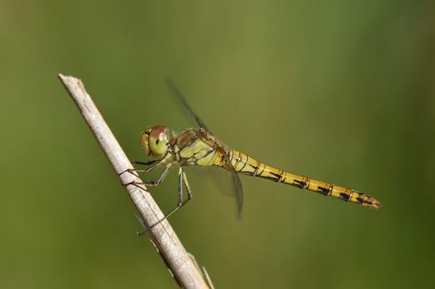 Foto de close-up com foco seletivo de uma libélula verde empoleirada em um galho
