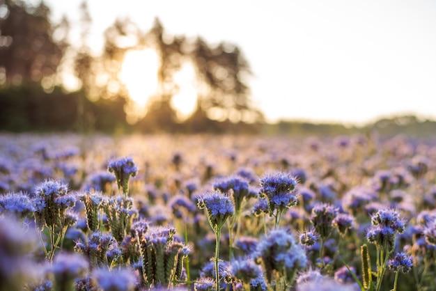 Foto de close-up de flores de phacelia (planta para as abelhas colherem mel) contra o sol nascente