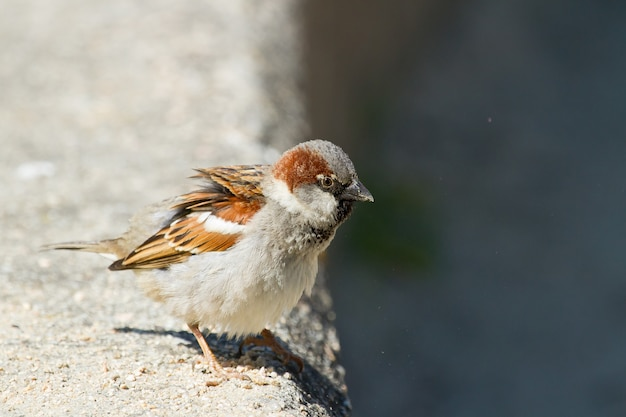 Foto de close-up de foco seletivo de um pássaro chamado pardal-doméstico durante um dia ensolarado