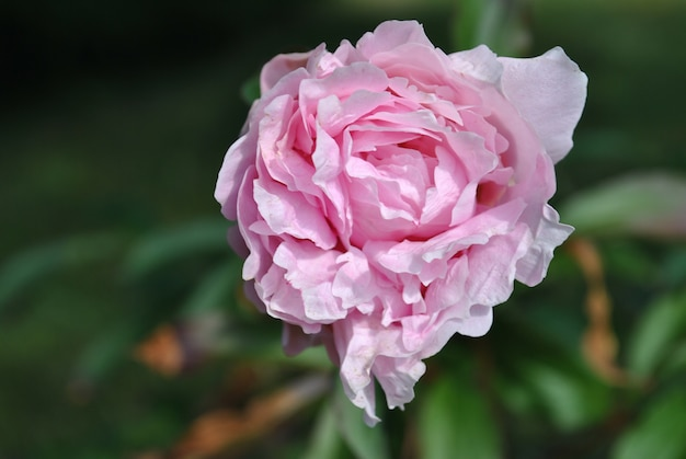 Foto de close-up de foco seletivo de uma flor rosa