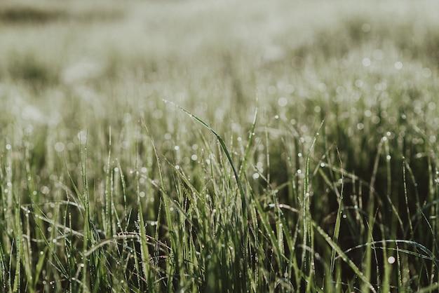 Foto de close-up de grama verde fresca em um campo com gotas de orvalho matinais