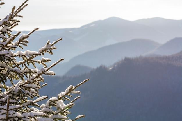 Foto de close-up de pinheiro branche com agulhas verdes cobertas com neve fresca e profunda no fundo azul borrado do espaço da cópia ao ar livre. feliz natal e feliz ano novo cartão postal de saudação.