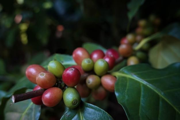 Foto de close-up de um grão de café arábica maduro em uma árvore. grãos de café no norte da tailândia, província de nan, o fundo está desfocado.