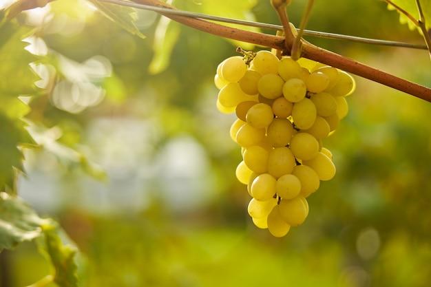 Foto de close-up de um único cacho de uvas maduras suculentas pendurado em uma videira