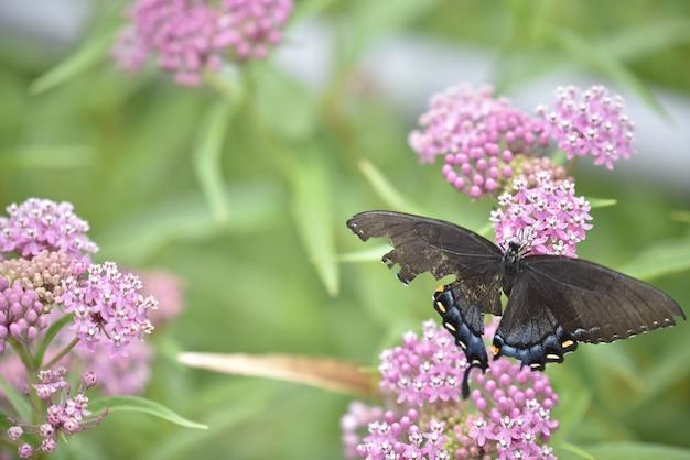 Foto de close-up de uma linda borboleta preta no lilás florido