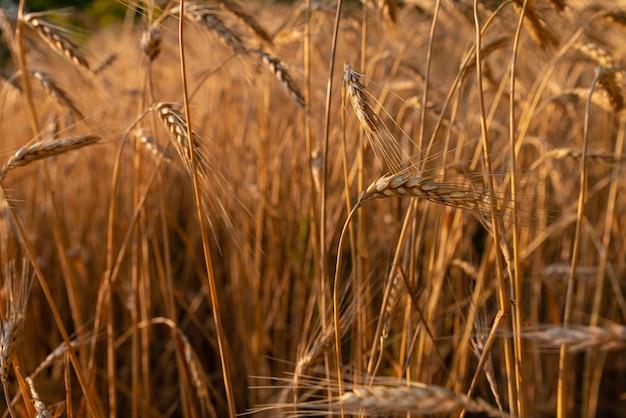 Foto de close up do amadurecimento do campo de trigo ao pôr do sol espiguetas douradas do conceito de colheita rica de trigo