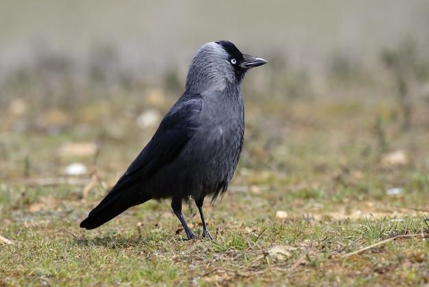 Foto de close-up incrível com foco seletivo de um corvo americano
