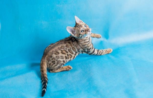 Foto de estúdio de alto ângulo de um gatinho fofo de bengala olhando para cima com fundo azul