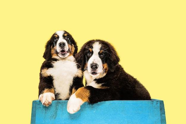 Foto de estúdio de filhotes de cachorro berner sennenhund em fundo amarelo de estúdio