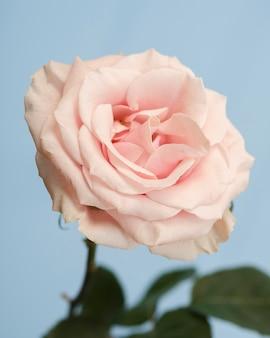 Foto de estúdio de rosa delicada