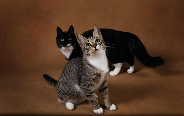 Foto de estúdio de um dois gatos sentado no marrom