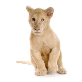 Foto de estúdio de um filhote de leão branco na frente de um fundo branco