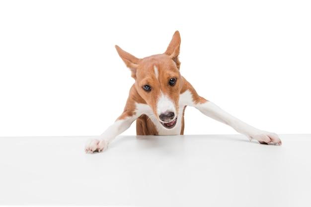 Foto de estúdio do cachorro basenji isolado no branco