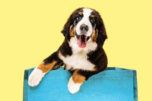Foto de estúdio do filhote de cachorro berner sennenhund em fundo amarelo do estúdio
