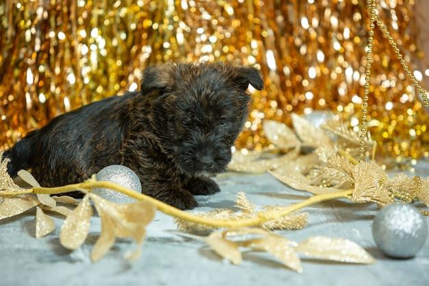 Foto de filhotes de scottish terrier na parede dourada
