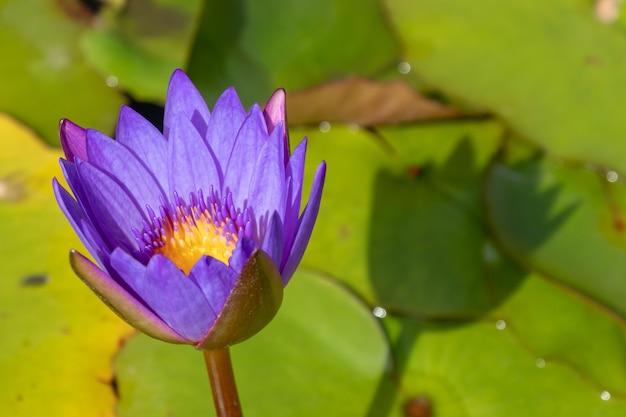 Foto de foco de alto ângulo de uma linda flor de lótus