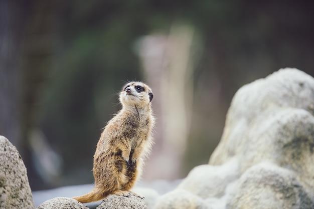 Foto de foco de um suricato vigilante em uma rocha